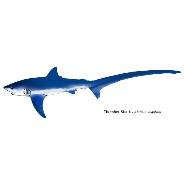 Thresher shark alopias vulpinus easily recognized from for Shark tail fish
