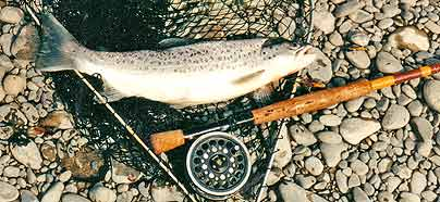 Sea-run brown trout caught in the Waimakariri River on a Yellow Rabbit lure.