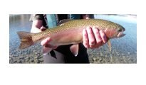 Awesome markings on this 3 lb rainbow trout from Lake Camp. Photo: Baitman. Lake Clearwater and Lake Camp.