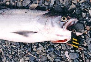 A landlocked Chinook salmon taken casting from shore with spinning gear. In this case a 28g black ticer with three chartreuse prism tape strips. This lure has often taken fish for the author especially when fished early in the morning.