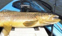 Brown Trout, Lake Emma, Ashburton Lakes trout fishing.