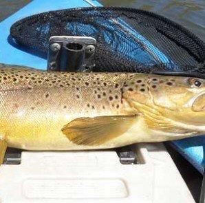 Brown Trout, Lake Emma, Ashburton Lakes trout fishing.