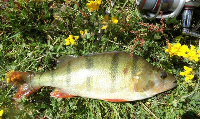Perch, Lake Emma.