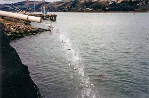 11,000 salmon smolt being released into Otago Harbour, August 1995. Otago harbour is a put-and-take salmon fishery. As the salmon are not breeding in the harbour unless releases are maintained there would be no salmon in the harbour for local anglers, and visitors, to catch. Photo: K. Robinson.