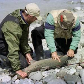 Alex Nehlebaeff caught this 24.5 pound salmon just upstream from the SH1 bridge on the first day of the Rakaia Salmon Fishing Competition March 1996. Featured image.