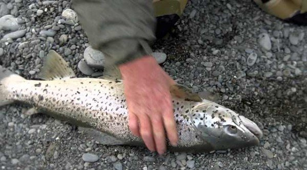 A big Rakaia River mouth sea-run brown trout.