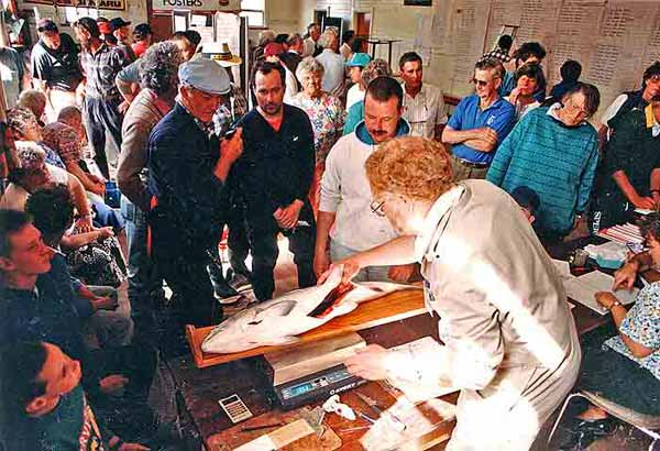 "Nelson Bolstead, the weigh-master for the Waitaki Salmon Fishing Contest, checks the stomach cavity of a big salmon during the 1996 event while many other contestants and interested onlookers watch proceedings. Mr Bolstead is a scientist with NIWA and an expert on the life cycle of this species. The years 1996 and 1997 were very good for salmon angling in the Waitaki River. There were plenty of salmon caught by anglers and many of the fish caught weighed in excess of 30 pounds. The 1999/2000 season was a very poor one with most of the few fish that did return from sea being in poor condition. Their thin bodies often being refered to by salmon anglers as ""slabs"" or ""slabby."""