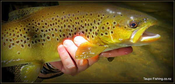 Butter coloured brown trout like this one can be taken in Lake Taupo and its many tributaries. Photograph courtesy of taupofishing.co.nz Lake Taupo trout fishing.