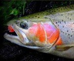 Lake Taupo Trout Fly Fishing