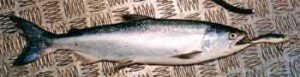 Landlocked salmon taken on Jensen Crank Bait while trolling in Lake Coleridge.