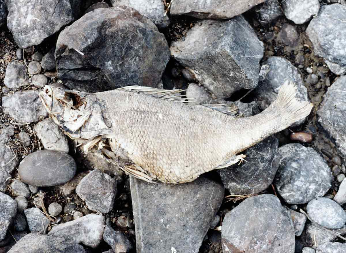 Lake Forsyth has been plagued by periodic toxic algal blooms over recent warm summers. The water can be extremely poisonous even to this hardy redfish perch.