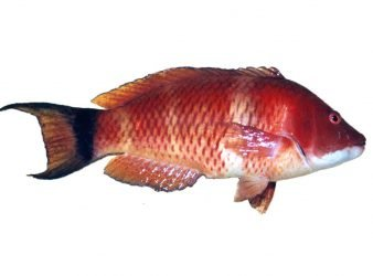 Scarlet Wrasse caught in Dusky Sound, Fiordland.