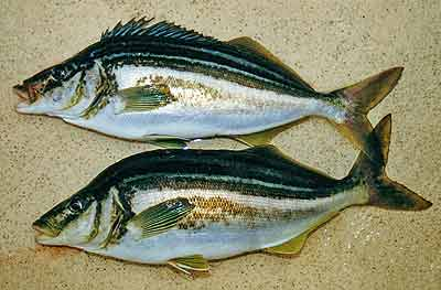 An excellent brace of big trumpeter fresh from the sea.
