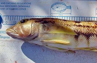 Yellow cod.