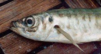 Jack Mackerel – Trachurus novaezelandiae