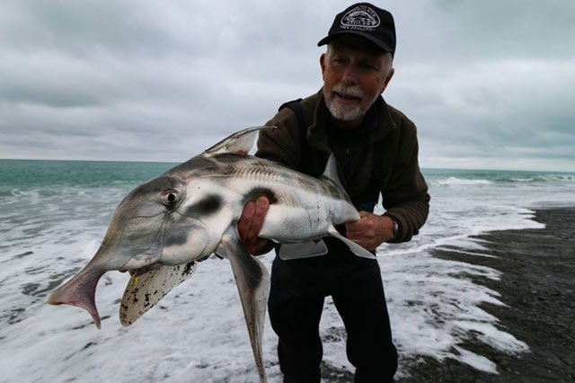 Malcolm Bell from The Complete Angler in Christchurch caught this beaut elephant fish surfcasting at Birdlings Flat December 2016. See The Complete Angler, 4/484 Cranford Street Redwood Christchurch, 8051, for advice and all the gear you need to catch these strong fighting, great eating, but unusual looking fish.
