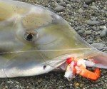 Elephant fish baits feat