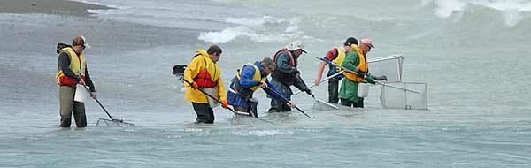 The wearing of life jackets is a precaution well worth taking. On most days one side of the river mouth will be better for whitebaiting than the other. Which side will be best depends on the shape of the mouth, the state of the tide, and the volume of water passing out through the mouth.