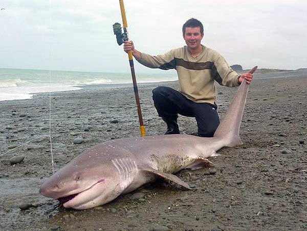 Sevengill shark caught surfcasting. Seven Gilled Shark caught near the mouth of the Rangitata River. We catch about 15 a season and all are returned to fight another day. This one was 9 foot long and was approximately 100 Kgs. Thanks Wayne. We really appreciate you sharing the picture with us. Good work on releasing them as well.