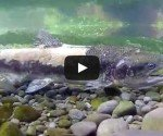Chinook salmon spawning
