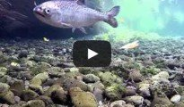 Salmon and brown trout video by Kevin Belcher.