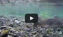 Chinook Salmon Spawning Redd