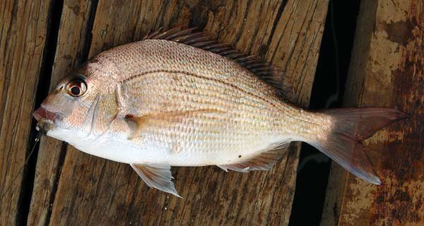 Snapper caught and released from the Yacht Club jetty at Picton.