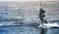 This fish was Neville Neal's biggest marlin caught that summer. A striped marlin weighing 137 kg.