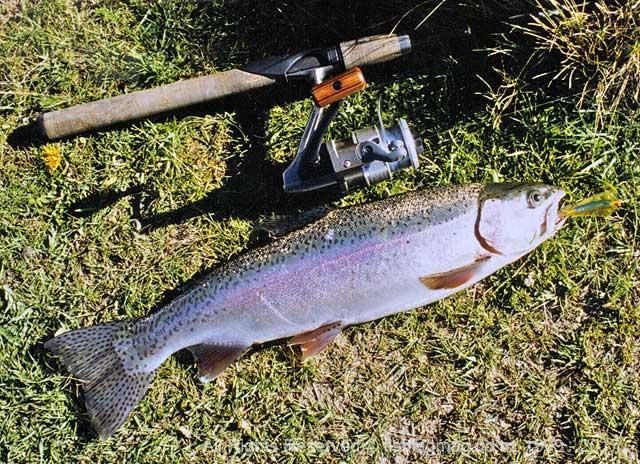 Lake Selfe rainbow hen trout taken on a Johnsons Kobra.