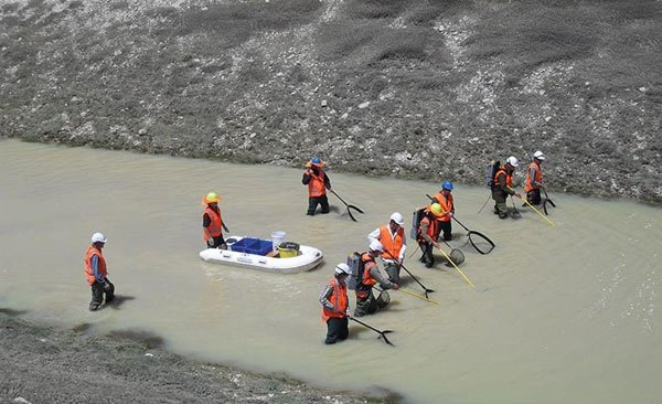 Fish recovery operation being conducted in the Tekapo Canal .
