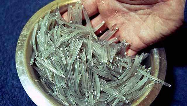 How to catch whitebait. Whitebait freshly taken from the river is translucent.