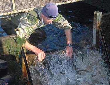 Salmon being released at Montrose hatchery, Rakaia River, Canterbury.