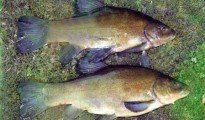 Tench coarse fishing in New Zealand.
