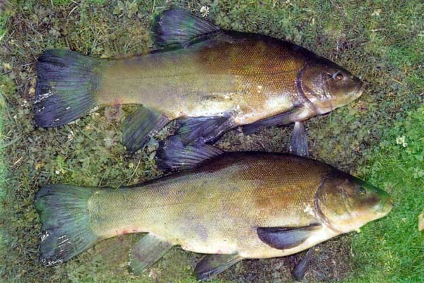 Tench fishing in new zealand course fish species for New zealand fish