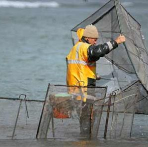 Whitebait box net in use at the mouth of canterbury's Waimakariri River.