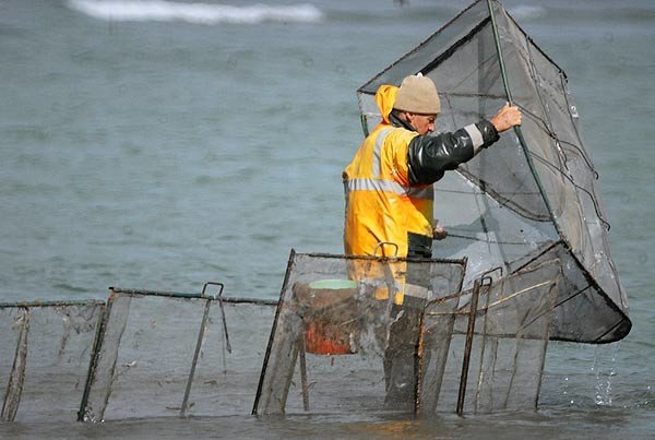 Checking the box net at the mouth of Canterbury's Waimakariri River. How to Catch Whitebait.