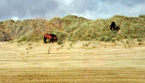 Wild horses are a common sight on Ninety Mile Beach.
