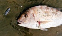 Snapper from Ninety Mile Beach, Northland.