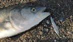 Kahawai taken on 40g Lucky Lure. This hard bodied lure is bright silver, and the body is flat. It is small and compact and casts a very long distance. Combined with single Mustad 34007 size 2/0 O'Shaughnessy hook you have a deadly combination for kahawai on spinning gear. The small lure and single hook attract more strikes and hold the fish better than a treble.