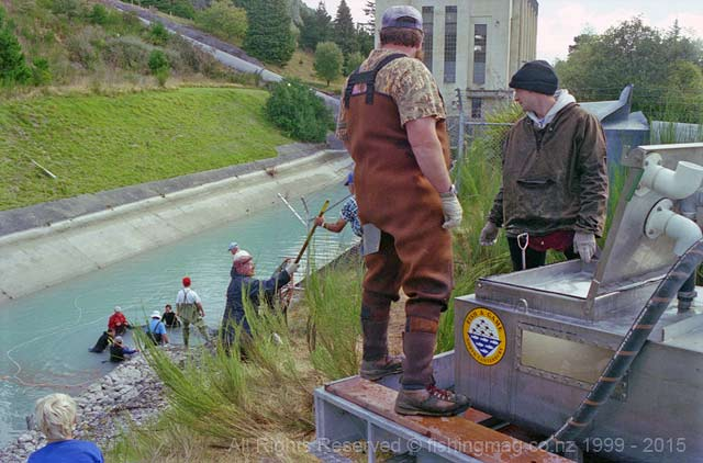 Salmon being lifted out of the High Bank Power Station tail race to the fish transporter for the short trip back to the Rakaia River.