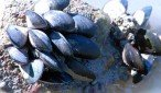 Mussels - featured image.