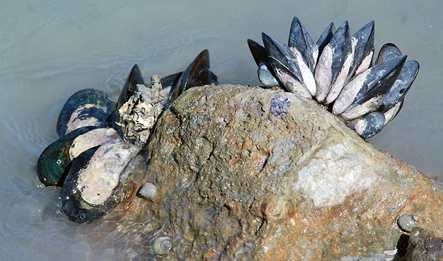 Mussels can be found quite easily at low tide. They make excellent bait for many different fish.