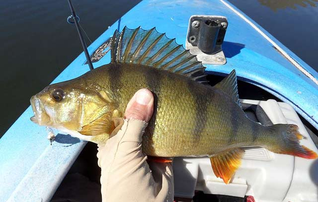 Perch from Lake Emma. Photograph courtesy of Paul Spicer.