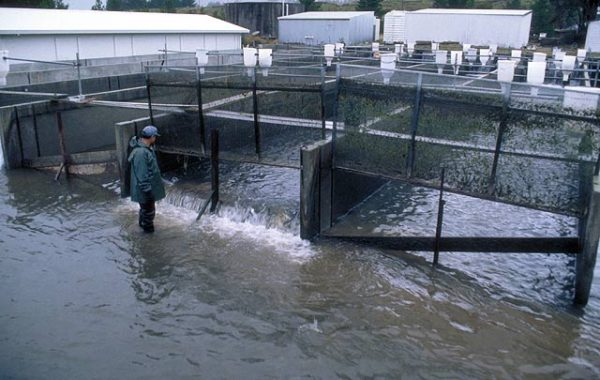 Moving salmon around in the hatchery. Glenariffe Salmon Research Station