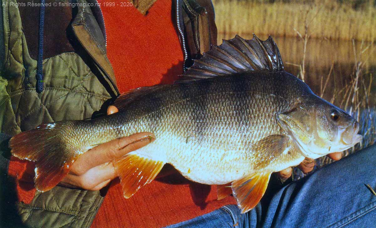Redfin Perch – Perca fluviatilis