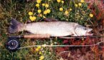 Grays River brown trout featured image.