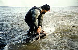 Young salmon being released into Bluff Harbour 1996.