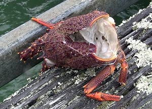 Crayfish body (lobster) used as fish bait on the Jackson Bay wharf.