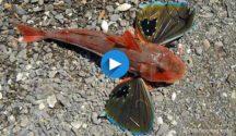 Red Gurnard Marlborough Sounds featured video image