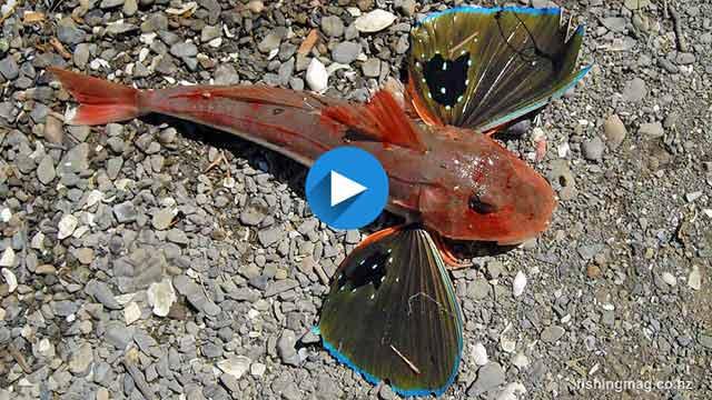 Gurnard Red Chelidonichthys Kumu How To Catch This